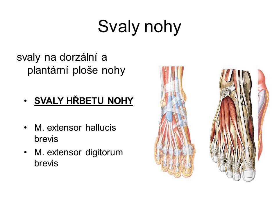 Svaly nohy svaly na dorzální a plantární ploše nohy SVALY HŘBETU NOHY M. extensor hallucis brevis M. extensor digitorum brevis