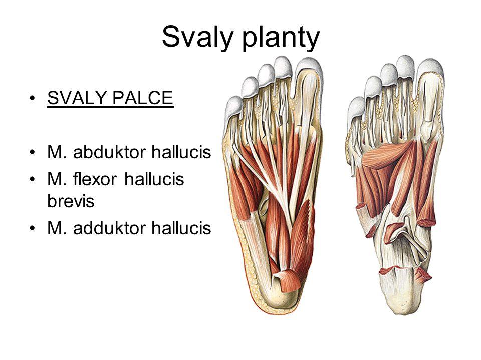Svaly planty SVALY PALCE M. abduktor hallucis M. flexor hallucis brevis M. adduktor hallucis