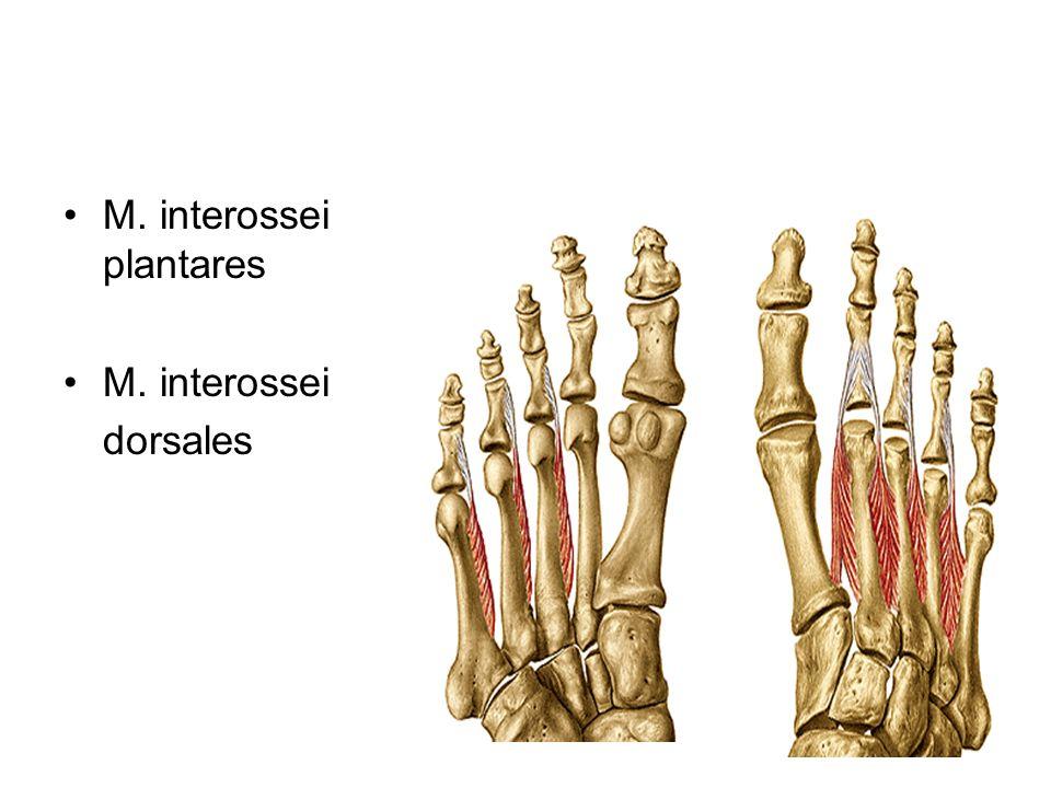 M. interossei plantares M. interossei dorsales