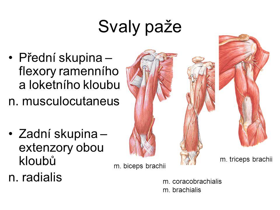 Svaly paže Přední skupina – flexory ramenního a loketního kloubu n. musculocutaneus Zadní skupina – extenzory obou kloubů n. radialis m. biceps brachi