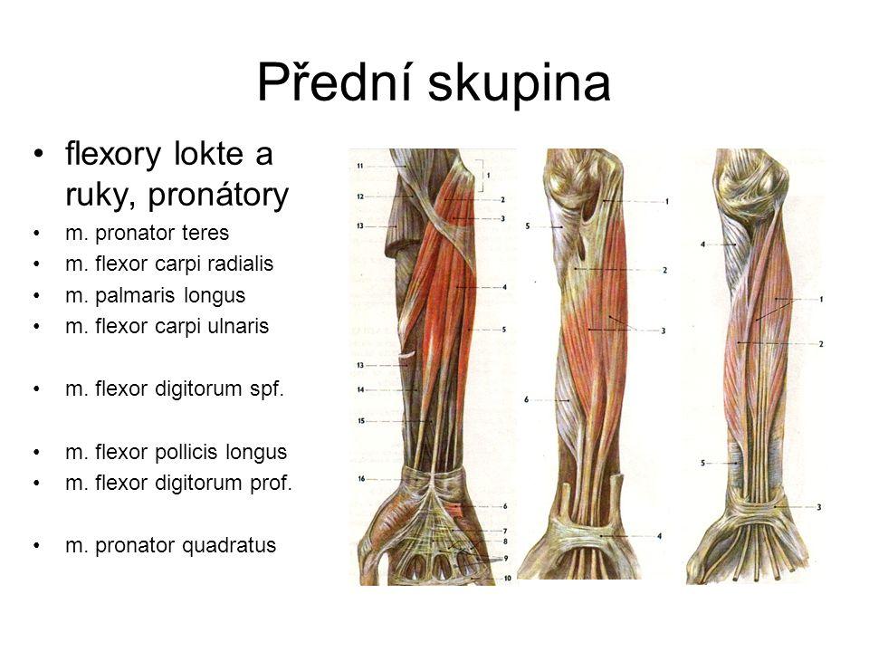 Přední skupina flexory lokte a ruky, pronátory m. pronator teres m. flexor carpi radialis m. palmaris longus m. flexor carpi ulnaris m. flexor digitor