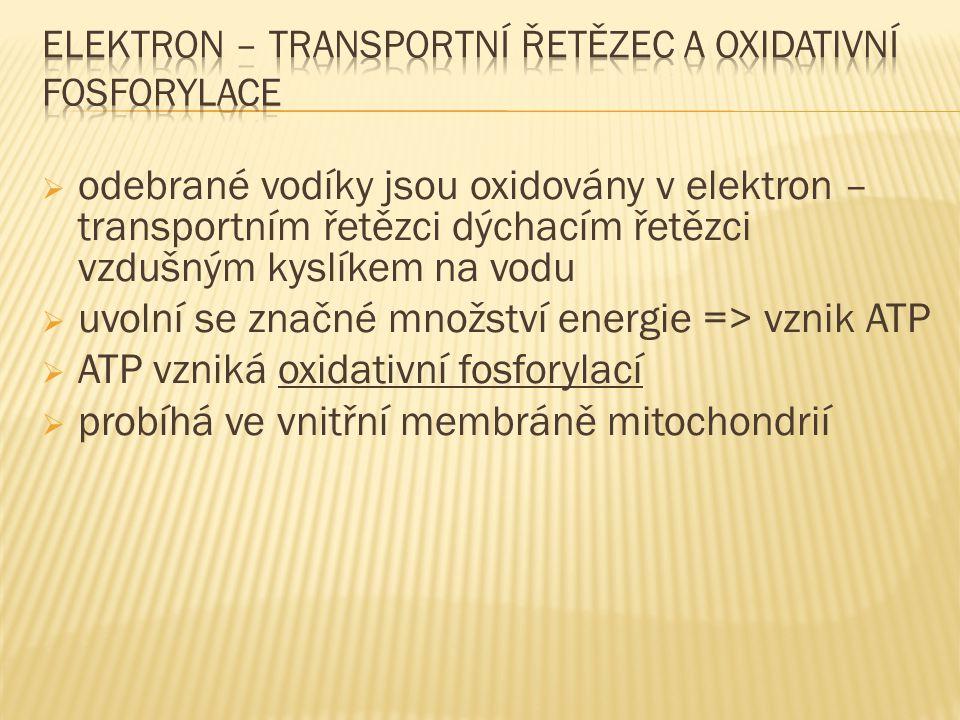  odebrané vodíky jsou oxidovány v elektron – transportním řetězci dýchacím řetězci vzdušným kyslíkem na vodu  uvolní se značné množství energie => vznik ATP  ATP vzniká oxidativní fosforylací  probíhá ve vnitřní membráně mitochondrií