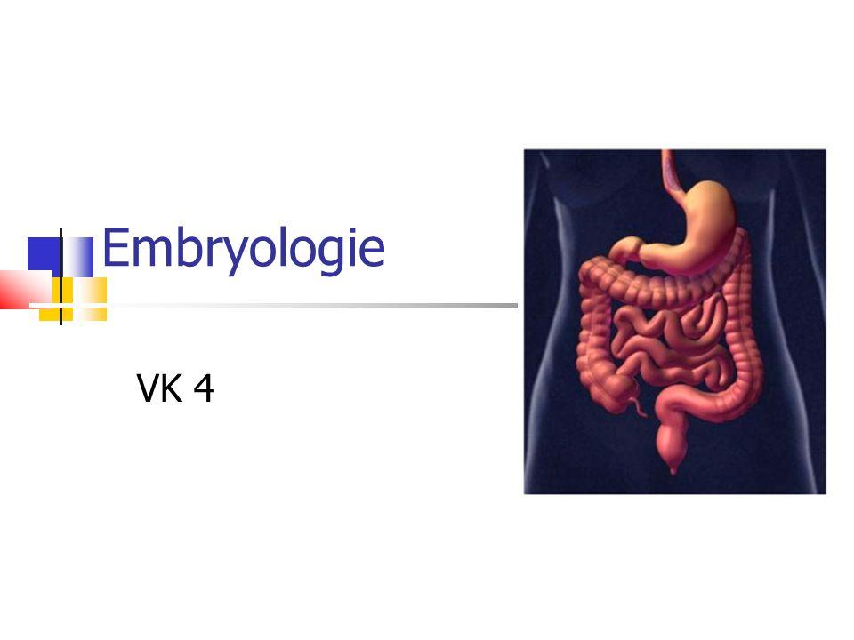 Vývoj GIT Primitivní střevo – od orofaryngové ke kloakální membráně, spojeno se žloutkovým váčkem pomocí ductus omphaloentericus Vývoj z endodermu, ektodermu stomodea a proctodea a ze splanchnopleury (viscerální list mesodermu) Segmentace endodermu – exprese Hox genů: Přední střevo – truncus coeliacus Střední střevo - a.