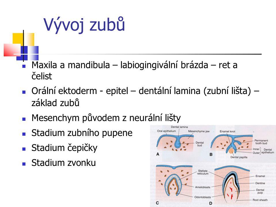 Vývoj zubů Maxila a mandibula – labiogingivální brázda – ret a čelist Orální ektoderm - epitel – dentální lamina (zubní lišta) – základ zubů Mesenchym