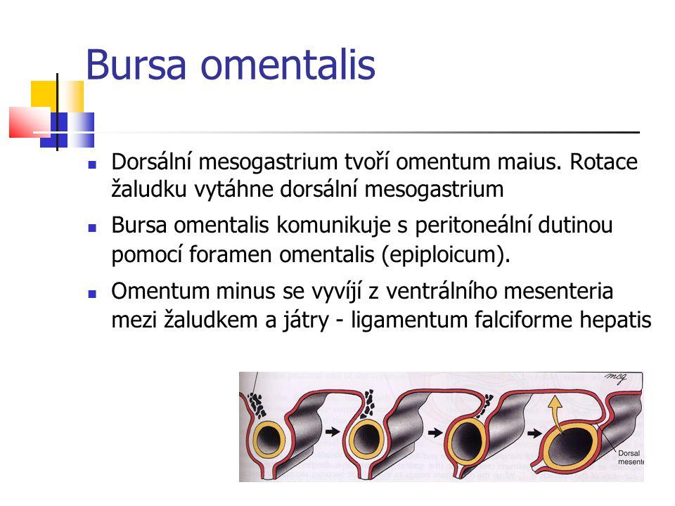 Bursa omentalis Dorsální mesogastrium tvoří omentum maius. Rotace žaludku vytáhne dorsální mesogastrium Bursa omentalis komunikuje s peritoneální duti