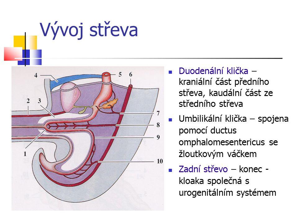 Vývoj střeva Duodenální klička – kraniální část předního střeva, kaudální část ze středního střeva Umbilikální klička – spojena pomocí ductus omphalom