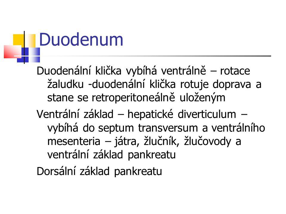 Duodenum Duodenální klička vybíhá ventrálně – rotace žaludku -duodenální klička rotuje doprava a stane se retroperitoneálně uloženým Ventrální základ