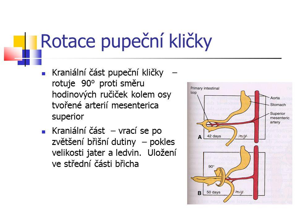 Rotace pupeční kličky Kraniální část pupeční kličky – rotuje 90 o proti směru hodinových ručiček kolem osy tvořené arterií mesenterica superior Kraniá