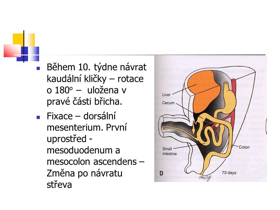Během 10. týdne návrat kaudální kličky – rotace o 180 o – uložena v pravé části břicha. Fixace – dorsální mesenterium. První uprostřed - mesoduodenum