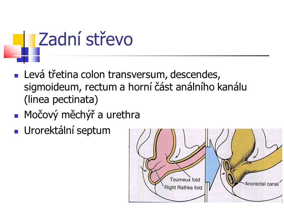Zadní střevo Levá třetina colon transversum, descendes, sigmoideum, rectum a horní část análního kanálu (linea pectinata) Močový měchýř a urethra Uror