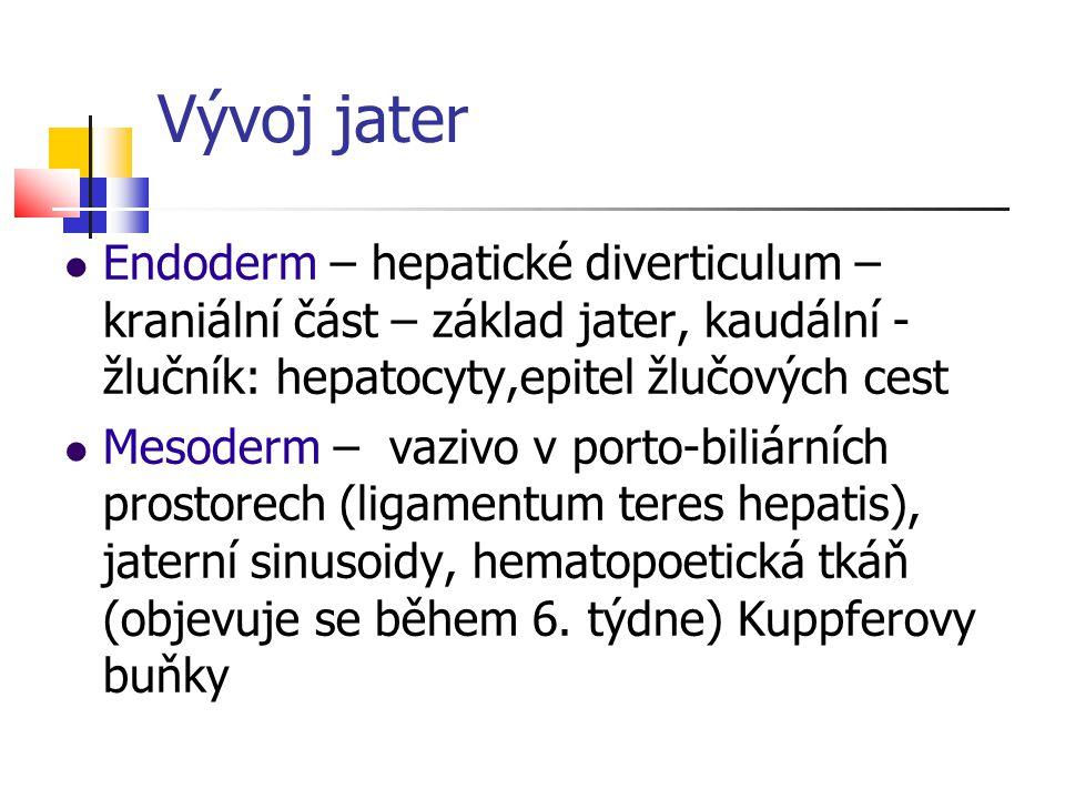 Vývoj jater Endoderm – hepatické diverticulum – kraniální část – základ jater, kaudální - žlučník: hepatocyty,epitel žlučových cest Mesoderm – vazivo