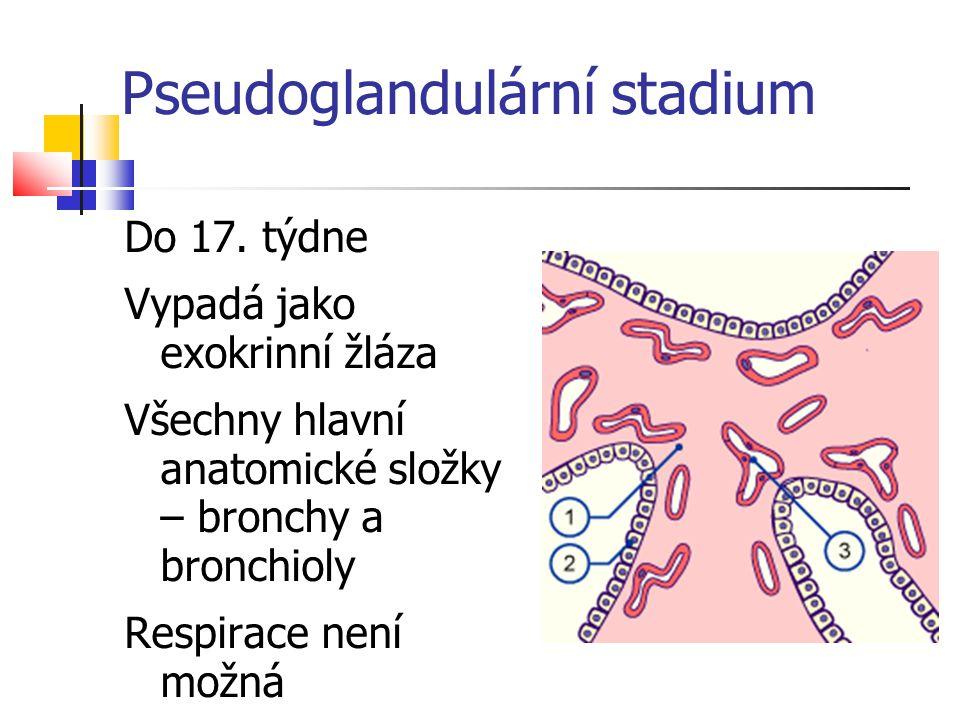 Do 17. týdne Vypadá jako exokrinní žláza Všechny hlavní anatomické složky – bronchy a bronchioly Respirace není možná Pseudoglandulární stadium