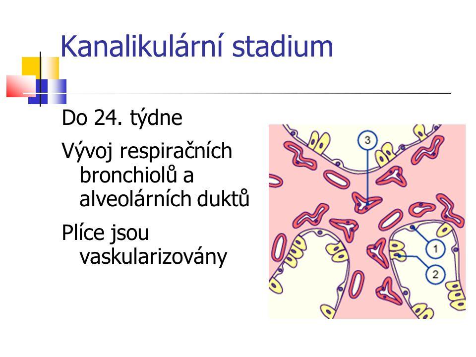 Kanalikulární stadium Do 24. týdne Vývoj respiračních bronchiolů a alveolárních duktů Plíce jsou vaskularizovány