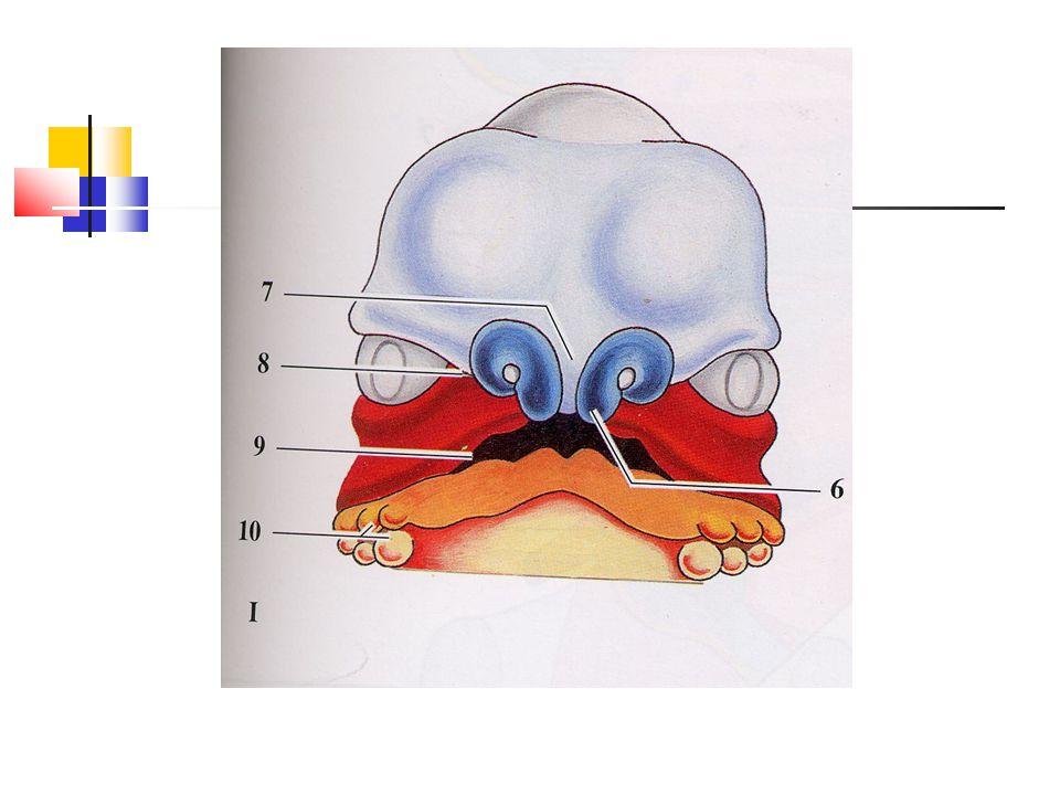 Bronchy Primární hlavní bronchy Sekundární neboli kmenové bronchy - 3+2 laloků Terciární neboli segmentální bronchy – 10 + 8 nebo 9 - základ bronchopulmonárního segmentu