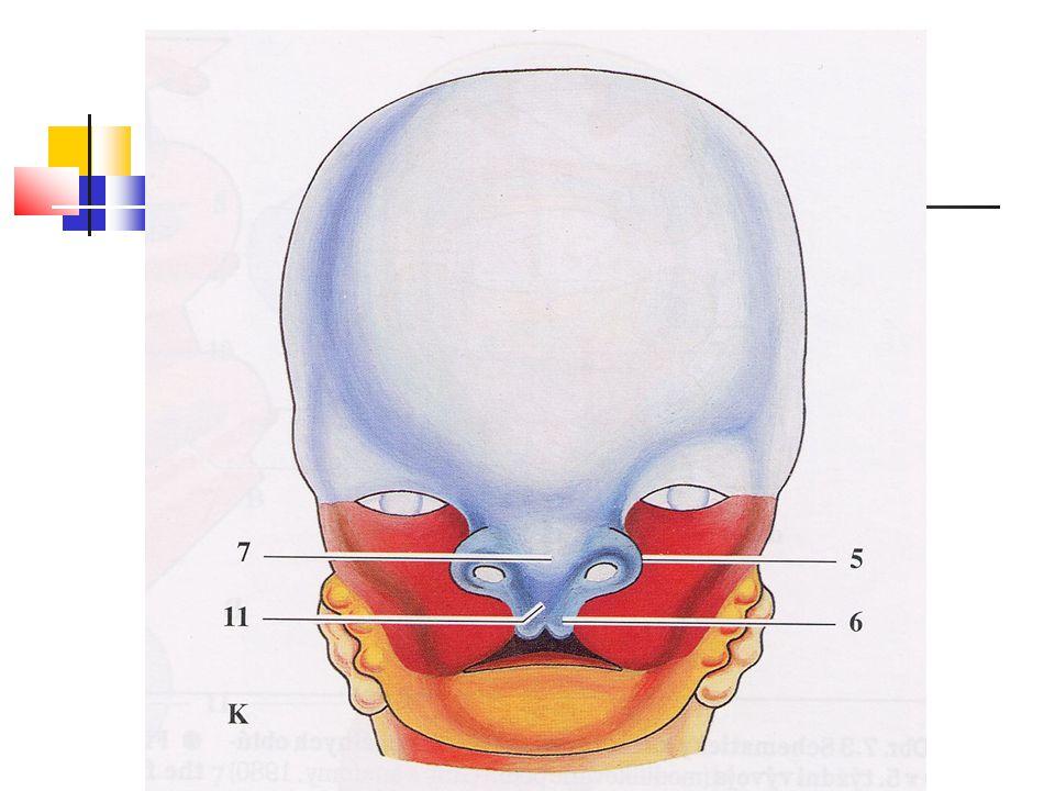 Vývoj jazyka Dno primitivního faryngu Laterální linguální (jazykové) hrbolky – distální základ jazyka Tuberculum impar – střední jazykový hrbolek Sulcus medianus – linguální septum Kopula (2.