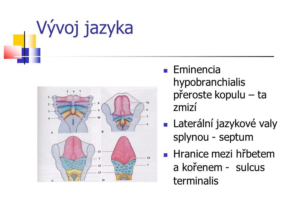 Vývoj jazyka Eminencia hypobranchialis přeroste kopulu – ta zmizí Laterální jazykové valy splynou - septum Hranice mezi hřbetem a kořenem - sulcus ter