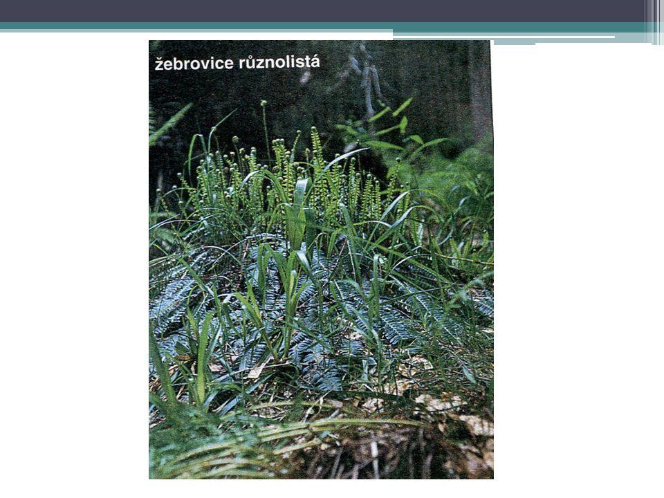 KAPRADINY - význam Dekorativní rostliny Snášejí i velký stín Rostou i v teráriích V prvohorách dosahovaly obrovského vzrůstu Některé rostou ve vodě (nepukalka, míčovka)