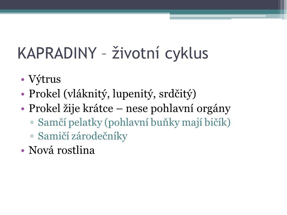 KAPRADINY – životní cyklus Výtrus Prokel (vláknitý, lupenitý, srdčitý) Prokel žije krátce – nese pohlavní orgány ▫Samčí pelatky (pohlavní buňky mají b