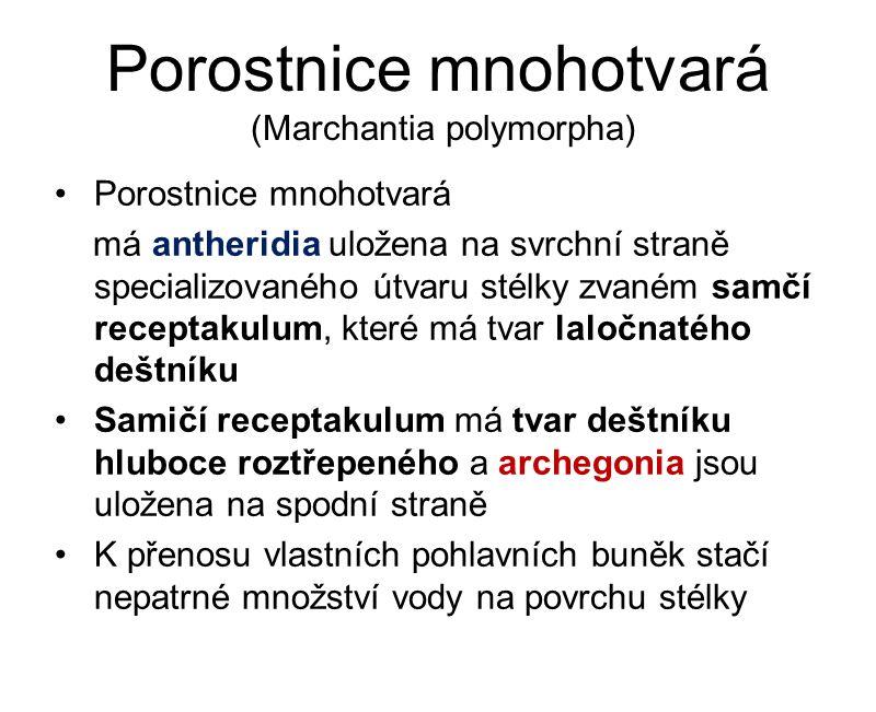 Porostnice mnohotvará (Marchantia polymorpha) Porostnice mnohotvará má antheridia uložena na svrchní straně specializovaného útvaru stélky zvaném samč