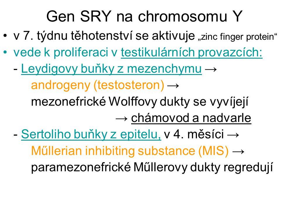 """Gen SRY na chromosomu Y v 7. týdnu těhotenství se aktivuje """"zinc finger protein"""" vede k proliferaci v testikulárních provazcích: - Leydigovy buňky z m"""