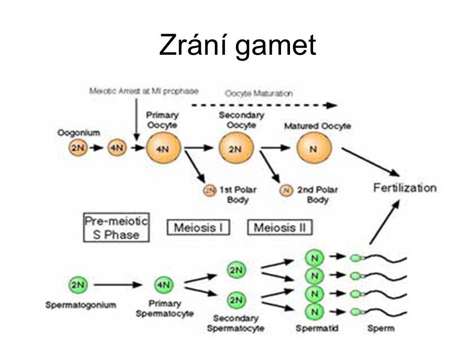 Mužský pseudohermafroditismus karyotypy 46,XY → normální testes, ale ženský vnější genitál Deficience steroidní 5-α-reduktázy -autozomálně recesivní porucha Syndrom rezistence vůči androgenům -X-vázaný syndrom testikulární feminizace -mutace genu pro androgenní receptor