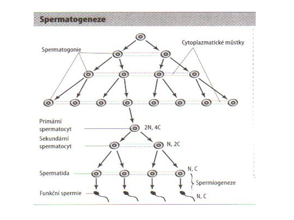 Meióza u ženy - oogeneze období diktyoten - u plodu 12.