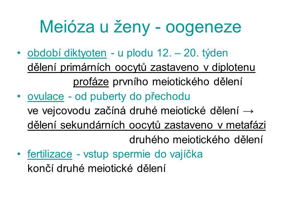 Meióza u ženy - oogeneze období diktyoten - u plodu 12. – 20. týden dělení primárních oocytů zastaveno v diplotenu profáze prvního meiotického dělení