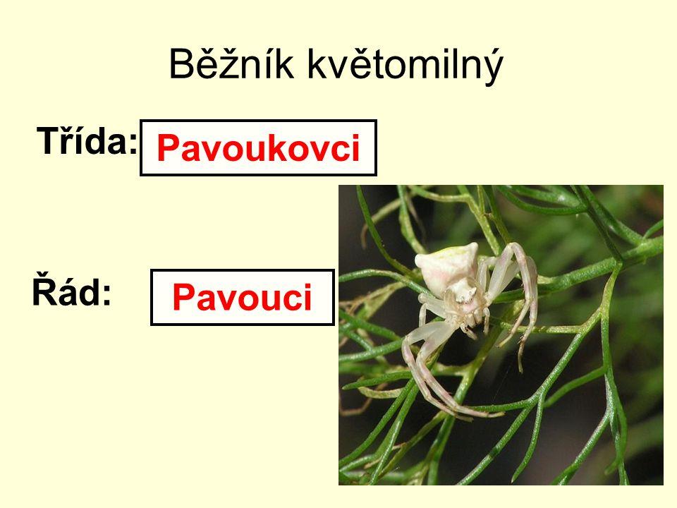 Běžník květomilný Třída: Řád: Pavoukovci Pavouci