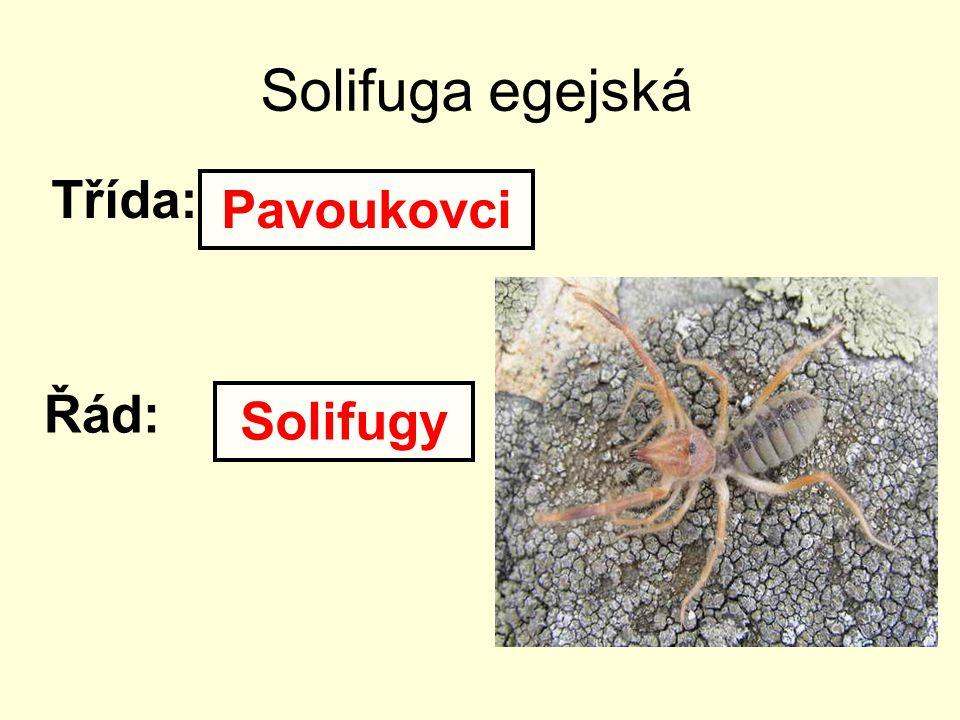 Solifuga egejská Třída: Řád: Pavoukovci Solifugy
