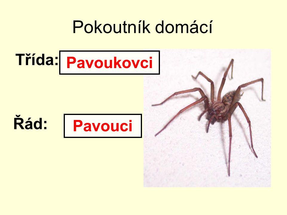 Pokoutník domácí Třída: Řád: Pavoukovci Pavouci