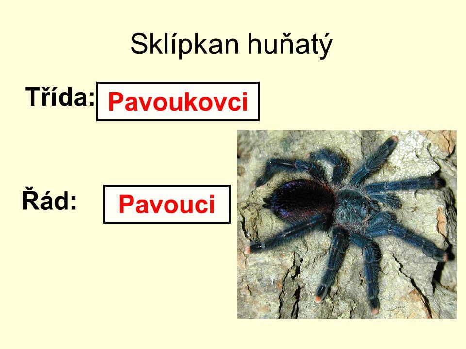Sklípkan huňatý Třída: Řád: Pavoukovci Pavouci