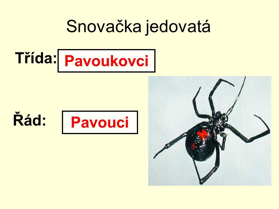 Snovačka jedovatá Třída: Řád: Pavoukovci Pavouci