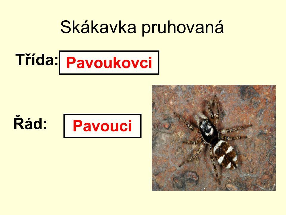 Vodouch stříbřitý Třída: Řád: Pavoukovci Pavouci