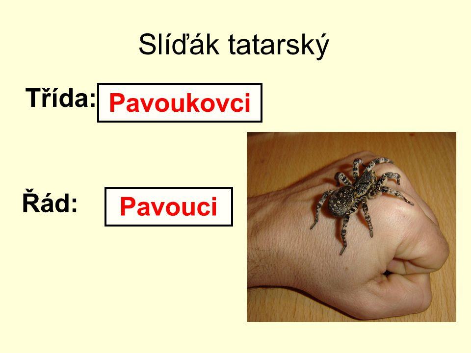 Slíďák tatarský Třída: Řád: Pavoukovci Pavouci