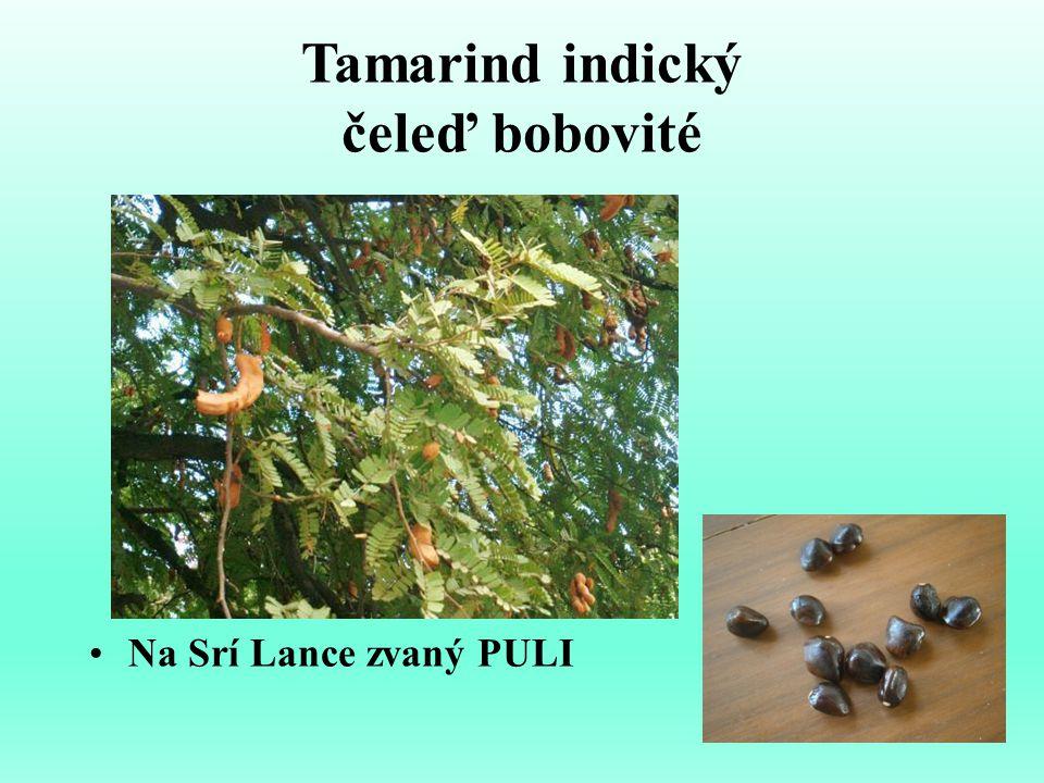 Tamarind indický čeleď bobovité Na Srí Lance zvaný PULI