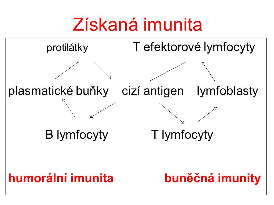 protilátky T efektorové lymfocyty plasmatické buňky cizí antigen lymfoblasty B lymfocyty T lymfocyty humorální imunita buněčná imunity Získaná imunita