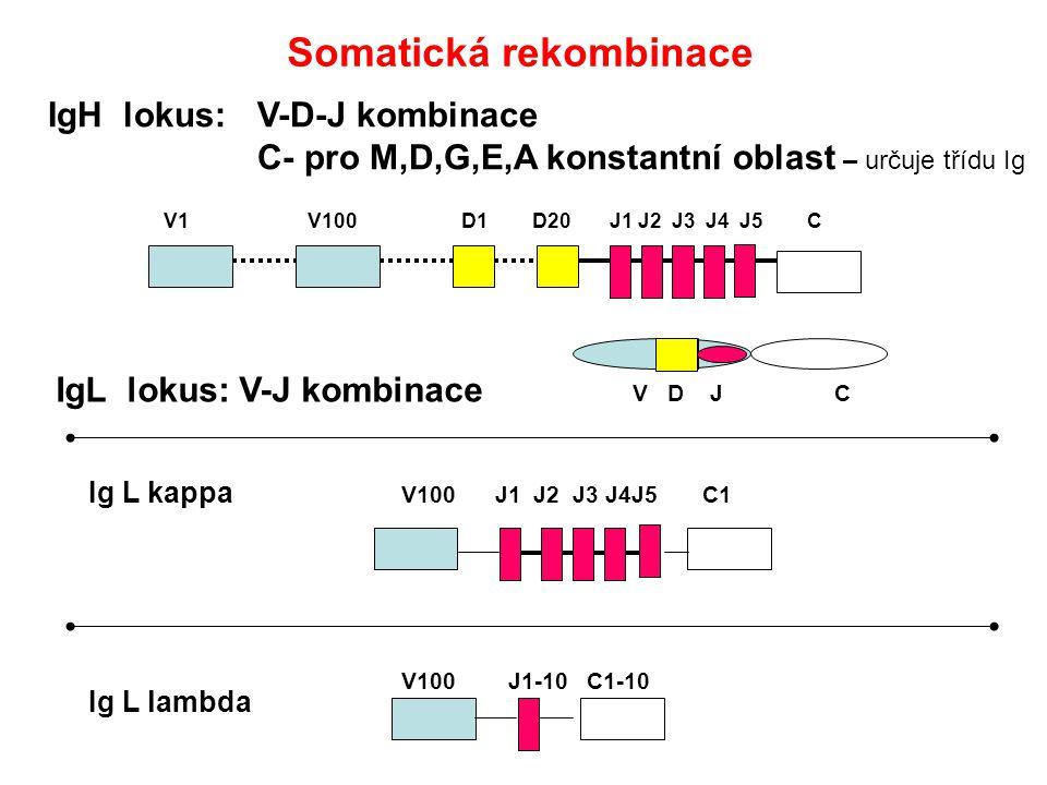 IgH lokus: V-D-J kombinace C- pro M,D,G,E,A konstantní oblast – určuje třídu Ig V1 V100 D1 D20 J1 J2 J3 J4 J5 C V100 J1 J2 J3 J4J5 C1 V100 J1-10 C1-10