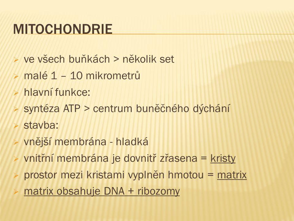 MITOCHONDRIE  ve všech buňkách > několik set  malé 1 – 10 mikrometrů  hlavní funkce:  syntéza ATP > centrum buněčného dýchání  stavba:  vnější m