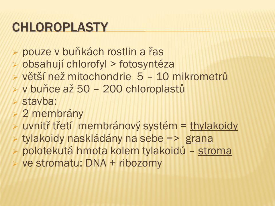 CHLOROPLASTY  pouze v buňkách rostlin a řas  obsahují chlorofyl > fotosyntéza  větší než mitochondrie 5 – 10 mikrometrů  v buňce až 50 – 200 chlor