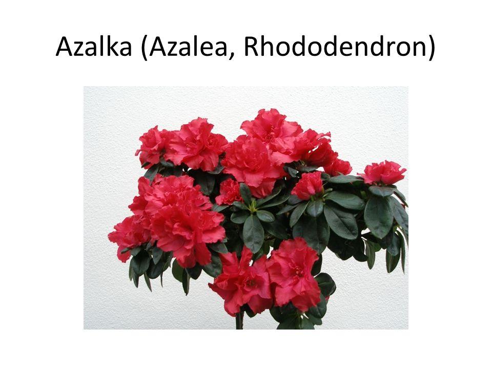 Azalka (Azalea, Rhododendron)