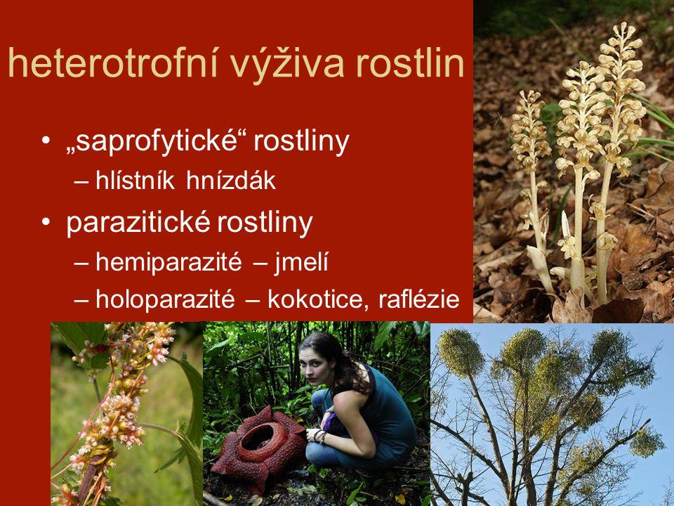 """heterotrofní výživa rostlin """"saprofytické"""" rostliny –hlístník hnízdák parazitické rostliny –hemiparazité – jmelí –holoparazité – kokotice, raflézie"""