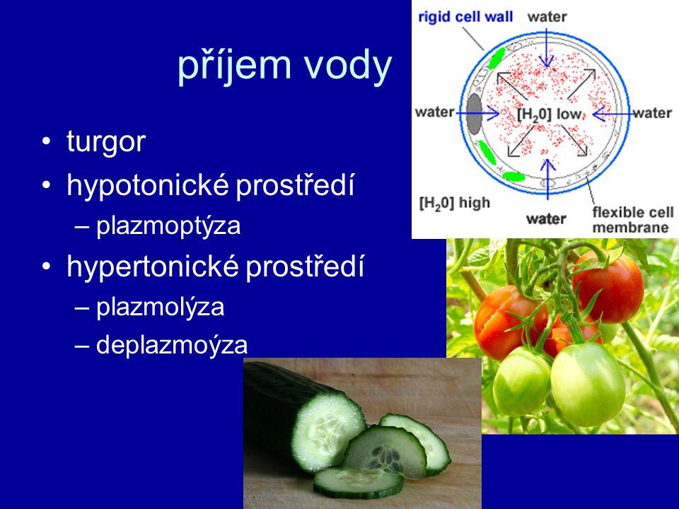 chloroplasty jádro ISOTONICKÉ PROSTŘEDÍ vakuoly cytoplazma buněčná stěna Isotonický roztok = vyrovnané prostředí HYPERTONICKÉ PROSTŘEDÍ plazmatická membrána v roztoku soli = buňka ztrácí vodu protoplast se scvrkává HYPOTONICKÉ PROSTŘEDÍ v roztoku vody = buňka nasává vodu do vakuoly