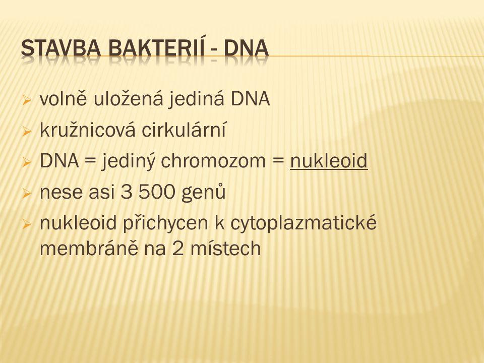  volně uložená jediná DNA  kružnicová cirkulární  DNA = jediný chromozom = nukleoid  nese asi 3 500 genů  nukleoid přichycen k cytoplazmatické me