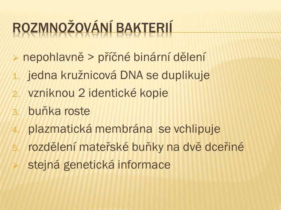 nepohlavně > příčné binární dělení 1. jedna kružnicová DNA se duplikuje 2. vzniknou 2 identické kopie 3. buňka roste 4. plazmatická membrána se vchl