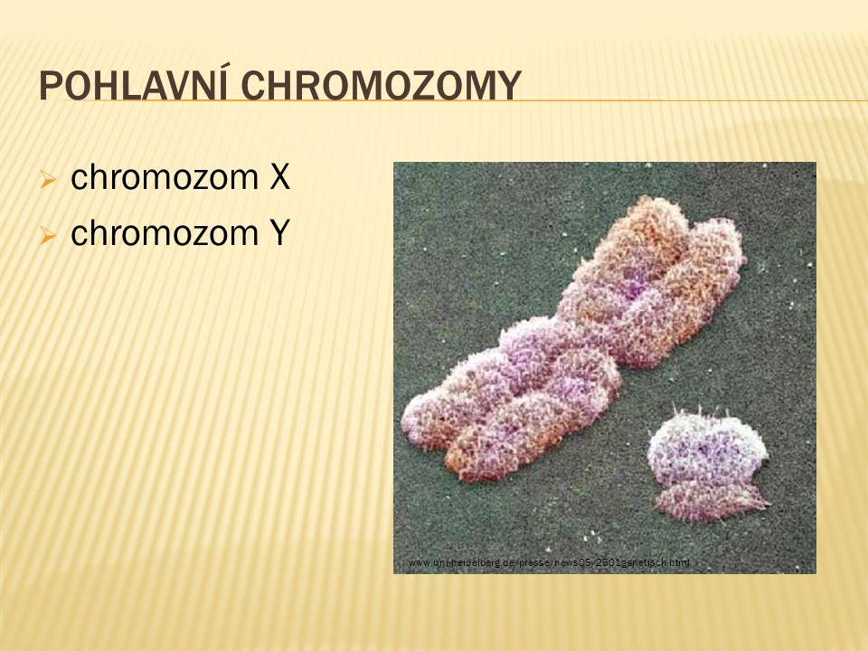 POHLAVNÍ CHROMOZOMY  chromozom X  chromozom Y www.uni-heidelberg.de/presse/news05/2501genetisch.html