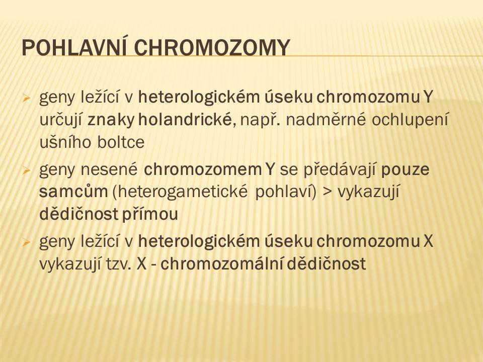 POHLAVNÍ CHROMOZOMY  geny ležící v heterologickém úseku chromozomu Y určují znaky holandrické, např. nadměrné ochlupení ušního boltce  geny nesené c