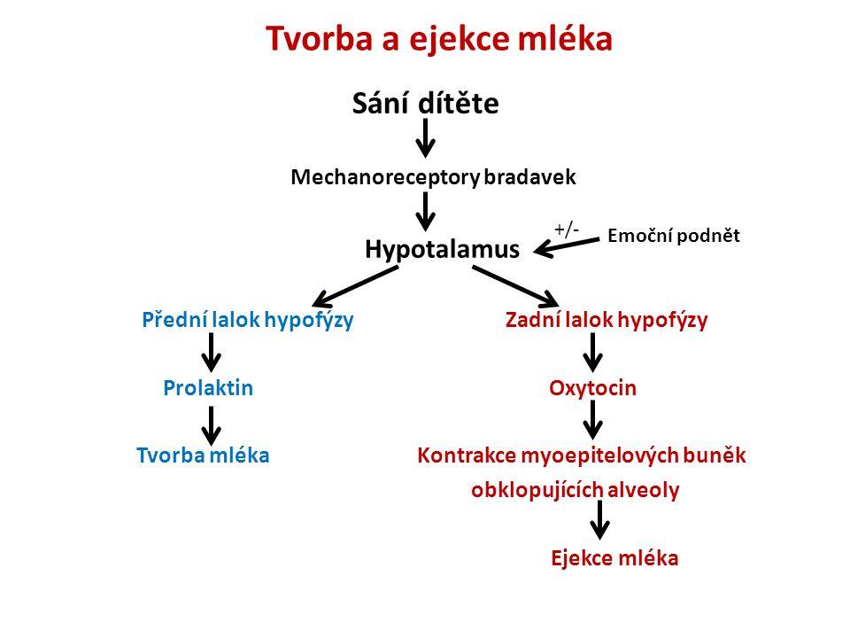 Tvorba a ejekce mléka Sání dítěte Mechanoreceptory bradavek Hypotalamus Přední lalok hypofýzy Zadní lalok hypofýzy Prolaktin Oxytocin Tvorba mléka Kon