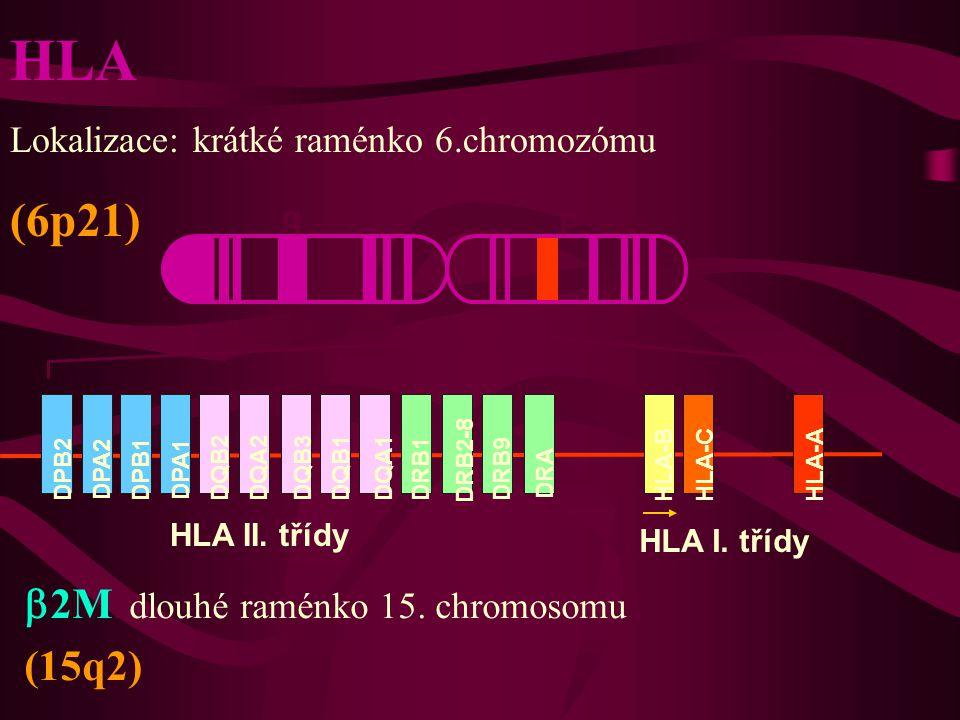 DPB2 DPA2 DPB1 DPA1 DQB2DQA2DQB3DQB1DQA1 DRB1 DRB2-8 DRB9 DRA HLA-BHLA-CHLA-A qp HLA II. třídy HLA I. třídy HLA Lokalizace: krátké raménko 6.chromozóm