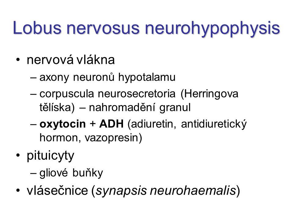 Lobus nervosus neurohypophysis nervová vlákna –axony neuronů hypotalamu –corpuscula neurosecretoria (Herringova tělíska) – nahromadění granul –oxytocin + ADH (adiuretin, antidiuretický hormon, vazopresin) pituicyty –gliové buňky vlásečnice (synapsis neurohaemalis)