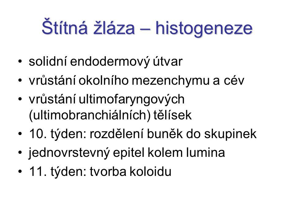 Štítná žláza – histogeneze solidní endodermový útvar vrůstání okolního mezenchymu a cév vrůstání ultimofaryngových (ultimobranchiálních) tělísek 10.